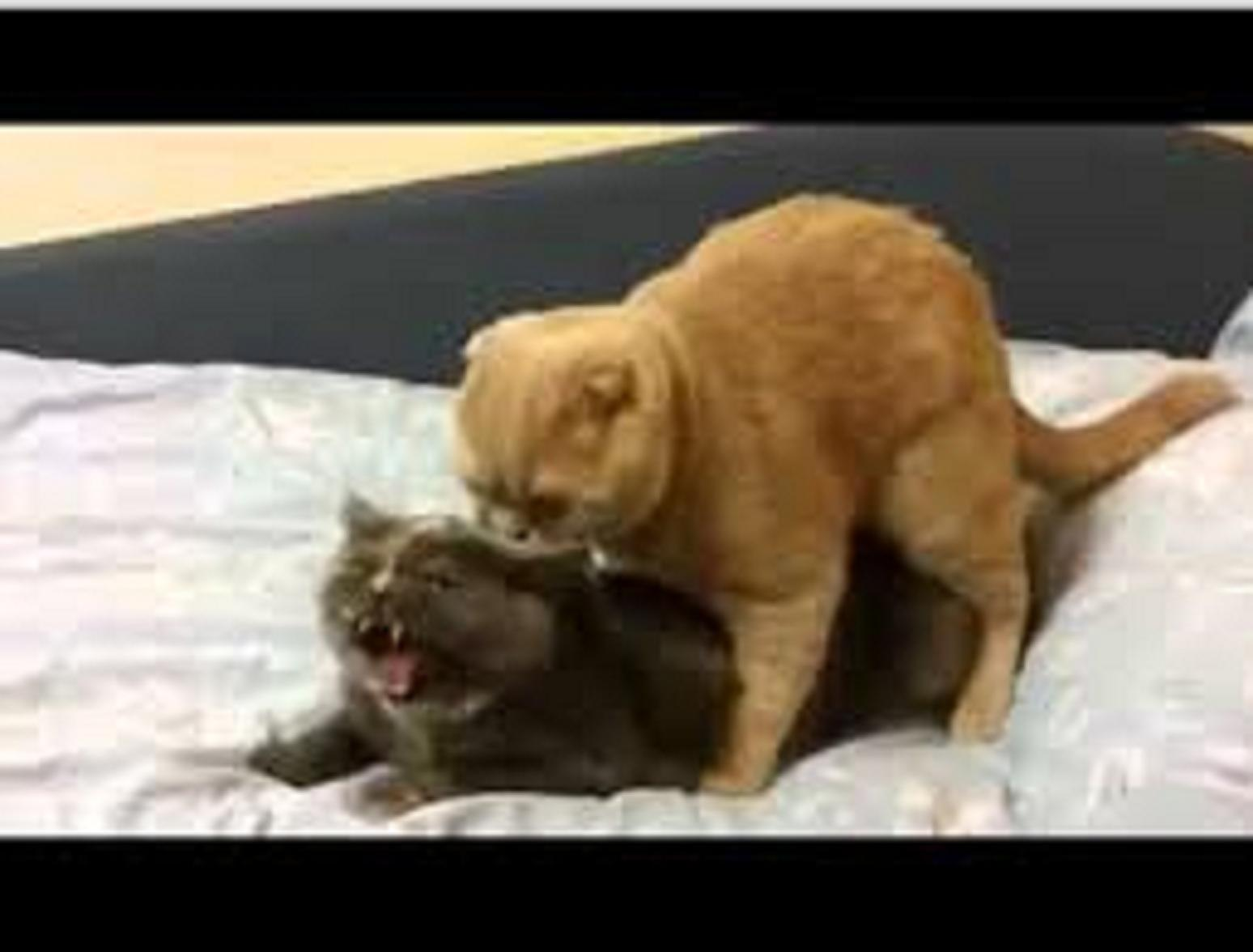Animal Mating Dog And Cat